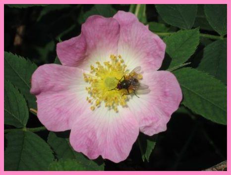 Ruusu%20B_02.jpg